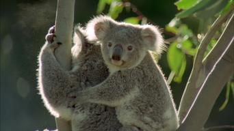 Baby Animals in the Wild: Season 1: Australian Babies Afternoon